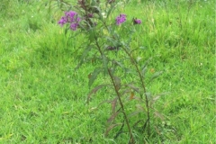 Ironweed-plant