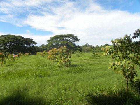 Ironwood-Tree-growing-wild