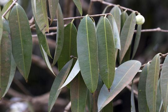 Mature-Leaves-of-Ironwood-Tree