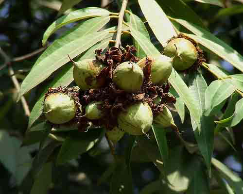 Mesua-ferrea-fruit-on-the-tree