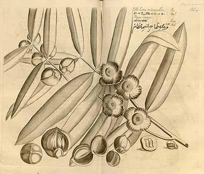 Plant-Illustration-of-Ironwood-Tree