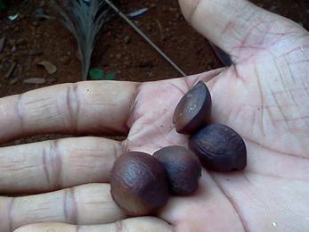 Seeds-of-Ironwood-Tree
