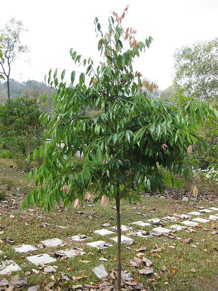 Small-Ironwood-Tree