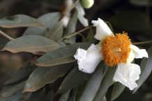 Flower-of-Ironwood-Tree