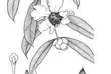 Sketch-of-Ironwood-Tree