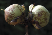Fruit-of-Ironwood-Tree