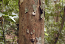 Peeled-Bark-of-Ironwood-Tree
