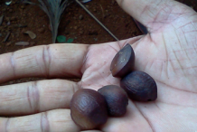 Seeds-of-Ironwood-Tree
