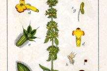 Plant-Illustration-of-Ironwort