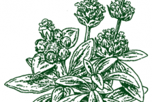 Sketch-of-Ironwort-plant