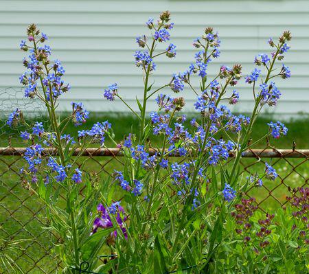 Italian-bugloss-plant