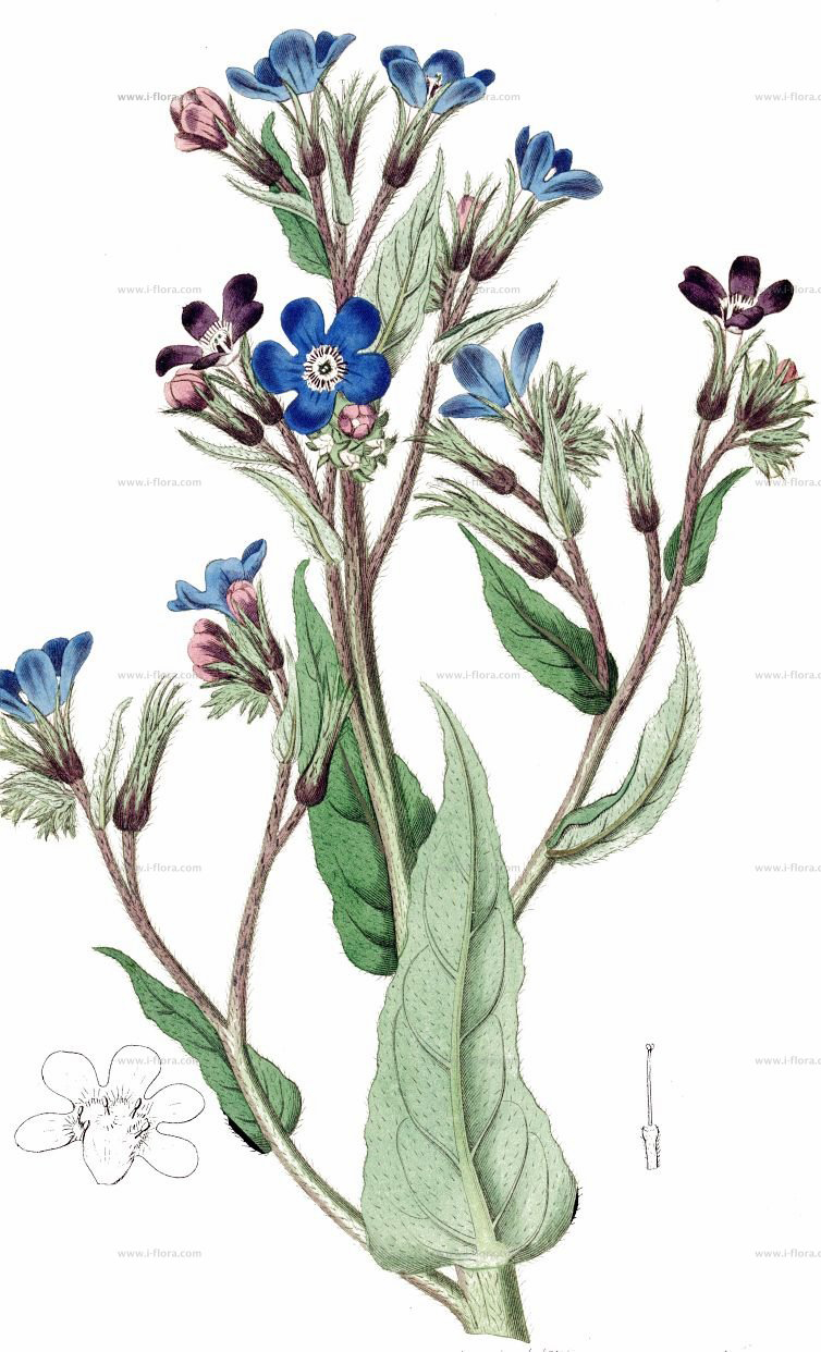 Plant-Illustration-of-Italian-bugloss.