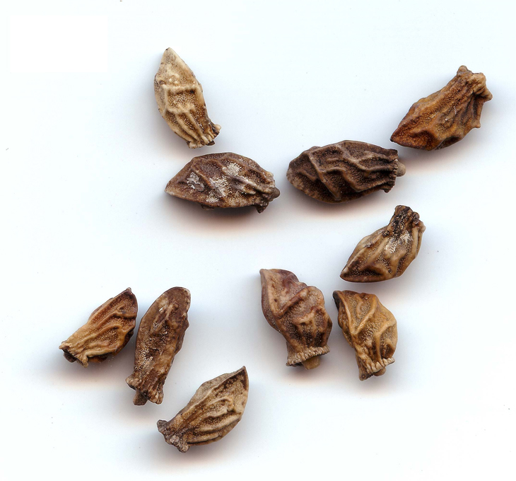 Seeds-of-Italian-bugloss