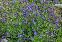 Italian-bugloss-plant-growing-wild