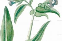 Sketch-of-Italian-bugloss
