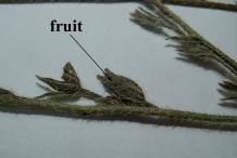 Fruits-of-Italian-bugloss