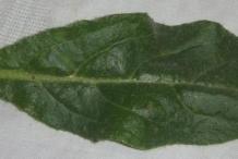Leaf-of-Italian-bugloss