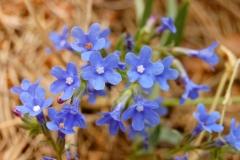 Flowers-of-Italian-bugloss