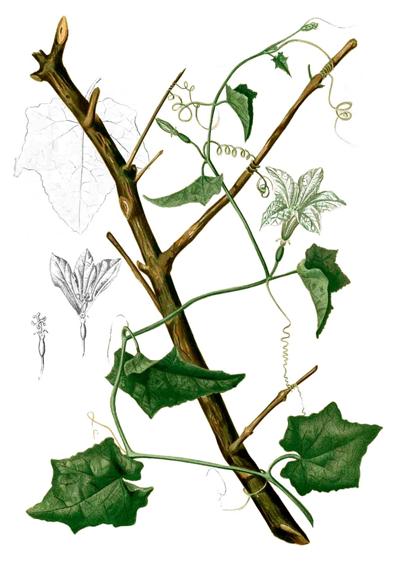 Ivy-gourd-plant-Illustration