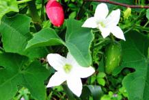Ivy-Gourd-Fruit-&-flower