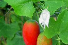 Ripe-Ivy-gourd