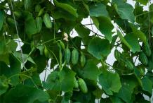 Ivy-Gourd-plant
