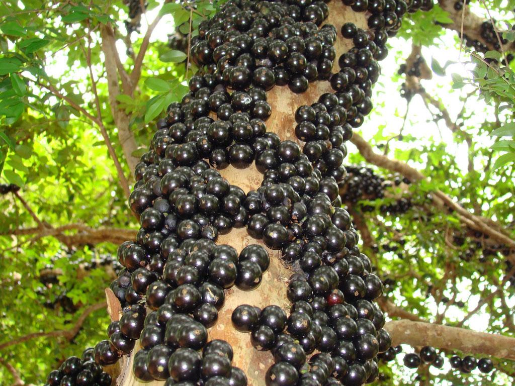 Mature-Jaboticaba-fruits-on-the-tree