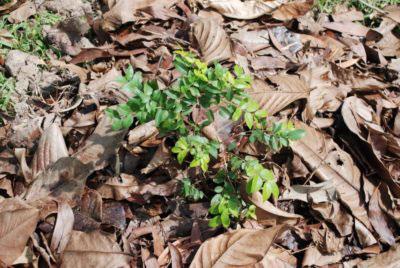 Young-Jaboticaba-tree