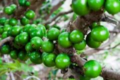 Immature-fruits-of-Jaboticaba