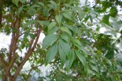 Leaves-of-Jaboticaba