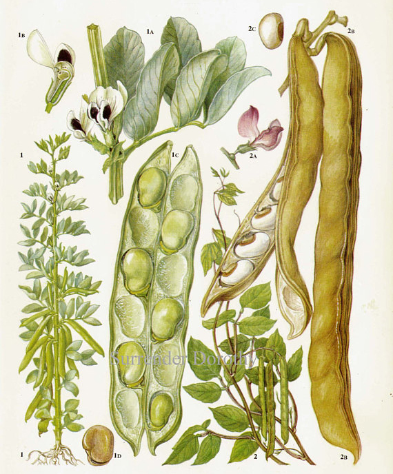 Plant-Illustration-of-Jack-bean