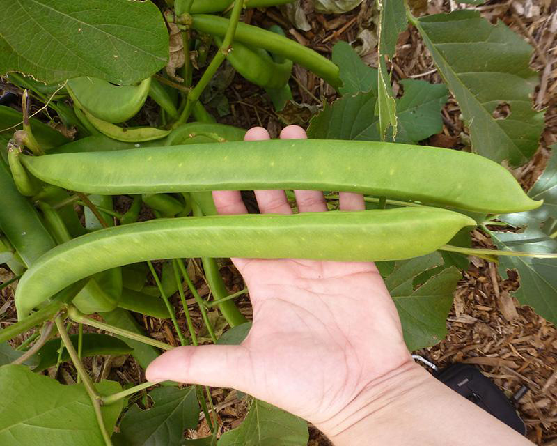 Pods-of-Jack-bean
