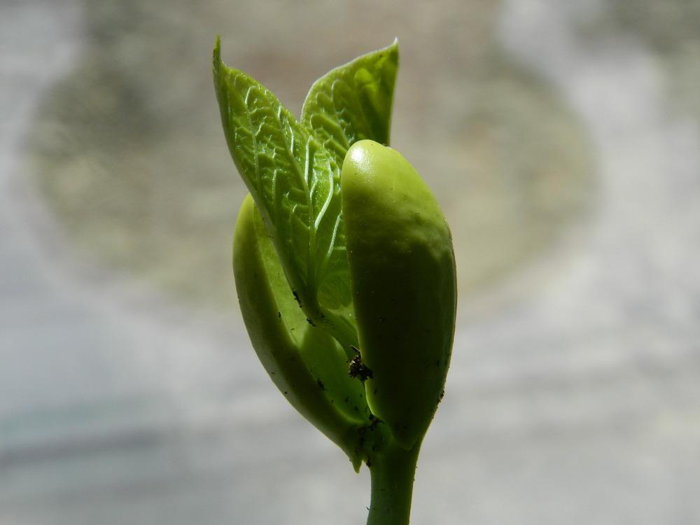 Seedling-or-Young-plant-of-Jack-bean