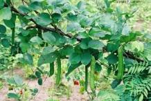 Jack-bean-plant-growing-wild