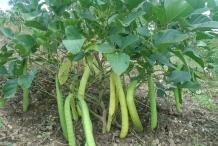 Jack-bean-plant