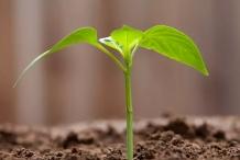 Small-Jack-Bean-plant