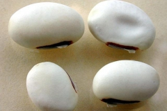 Seeds-of-Jack-bean
