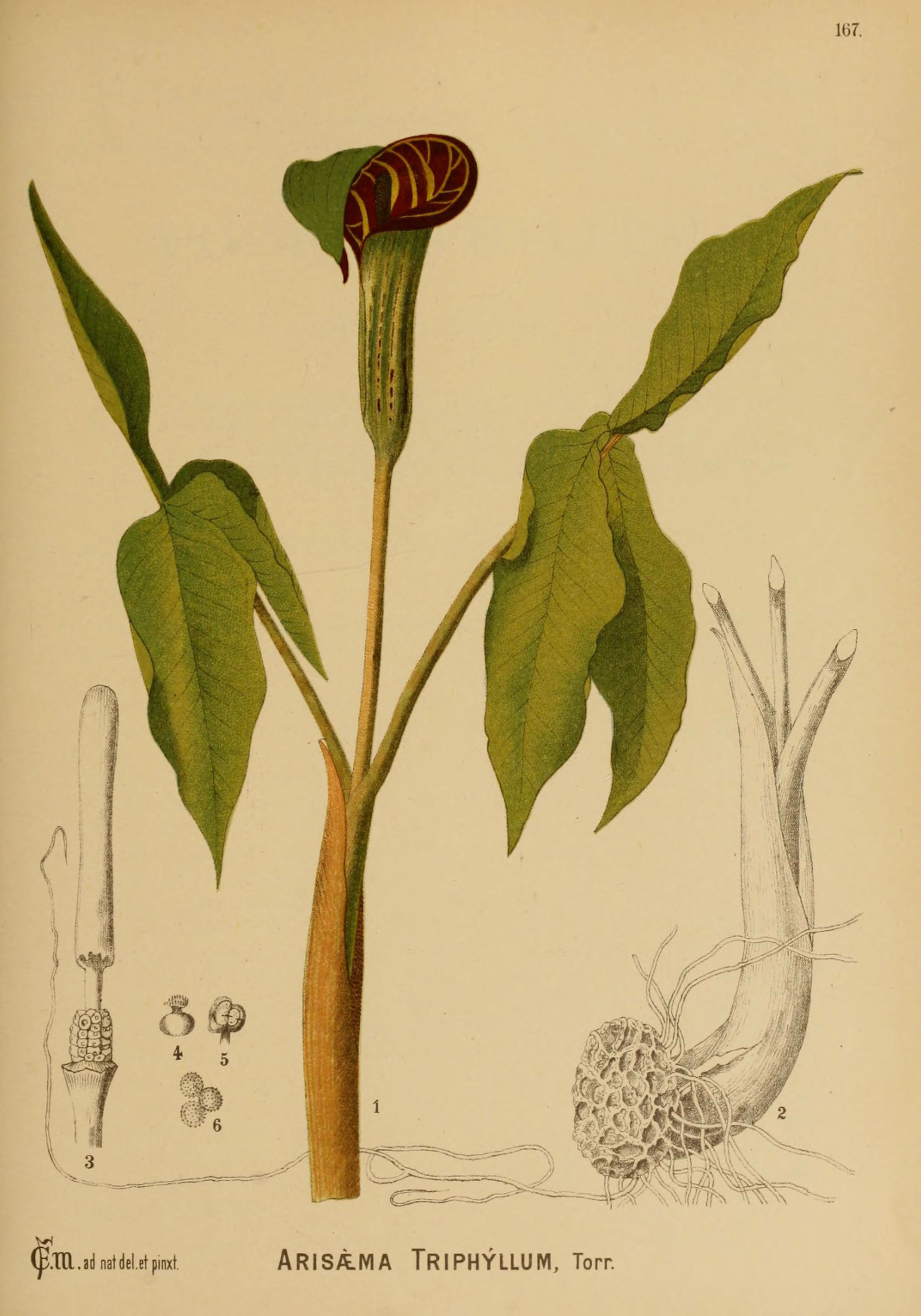Plant-illustration-of-Jack-in-the-pulpit