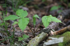 Jack-in-the-pulpit-leaves