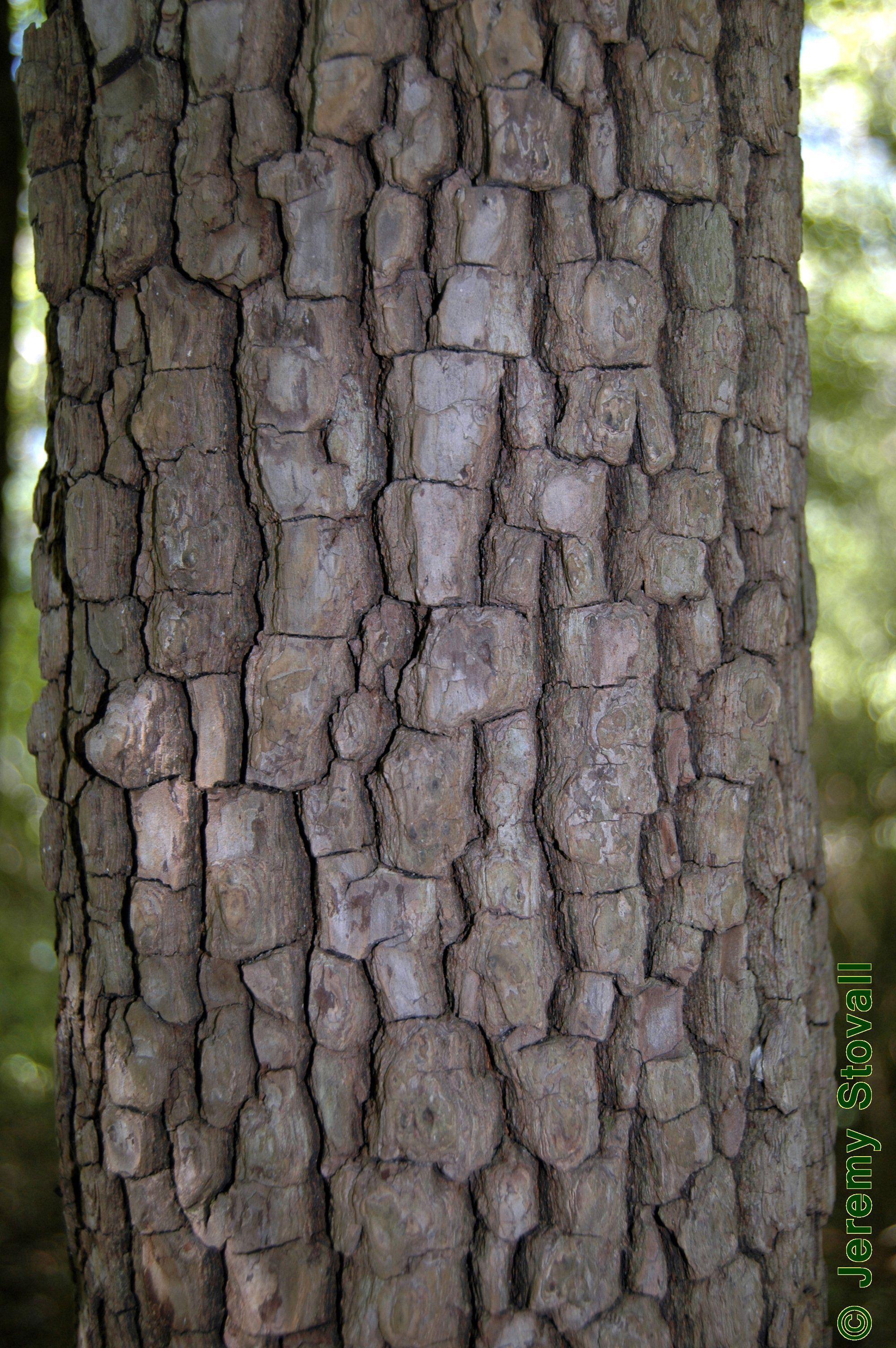 Bark-of-Jackalberry