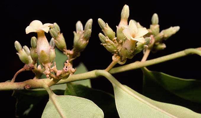 Female-flower-of-Jackalberry