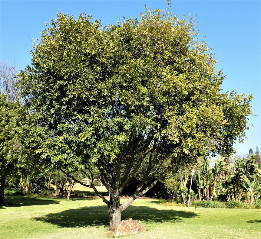 Jackalberry-tree