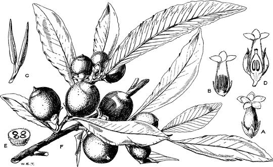 Sketch-of-Jackalberry