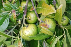 Immature-fruits-of-Jackalberry