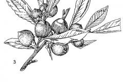 Plant-Illuastration-of-Jackalberry