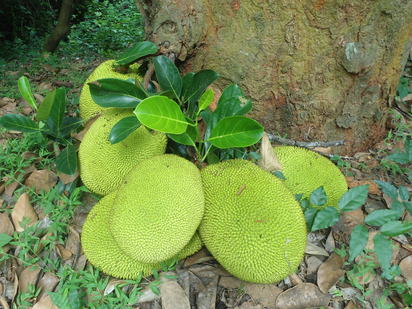 Jackfruit-jack
