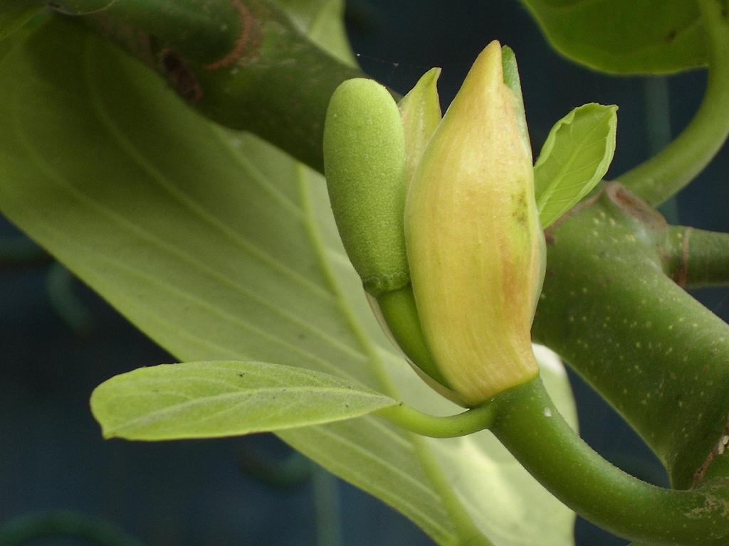 Jackfruit-flower-Ekifenensi
