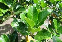 Jackfruit-leaves-Jaca