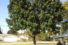 Jackfruit-tree-Khanum