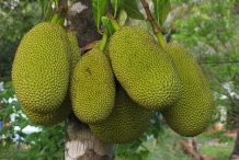 Jackfruit-jak